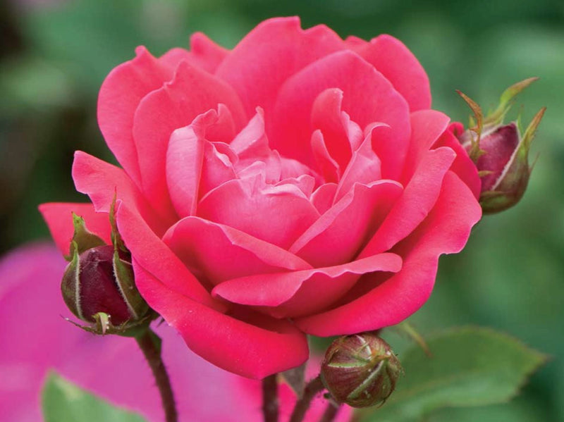 Rosa Knock Out 'Double Knockout' - 3 Gal.