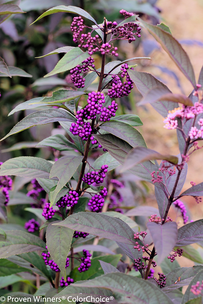Callicarpa 'Purple Pearls' - 3 Gal.
