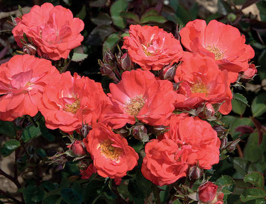 Rosa Drift 'Coral' - 8 Inch