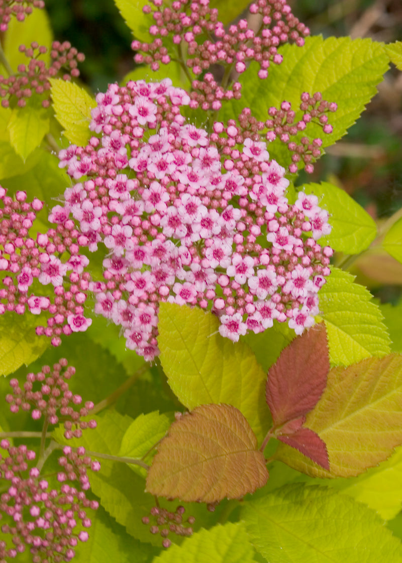 Spiraea japonica 'Double Play Big Bang' - 3 Gal.