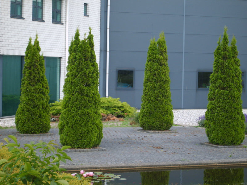 Thuja occidentalis 'Smaragd' - 7 Gal.