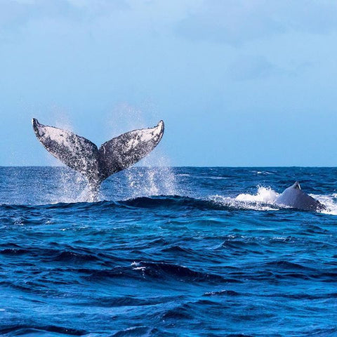 Humpback whale off the coast of Maui diving into the water.