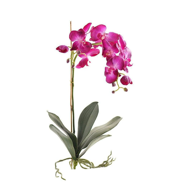 purple Phalaenopsis stem