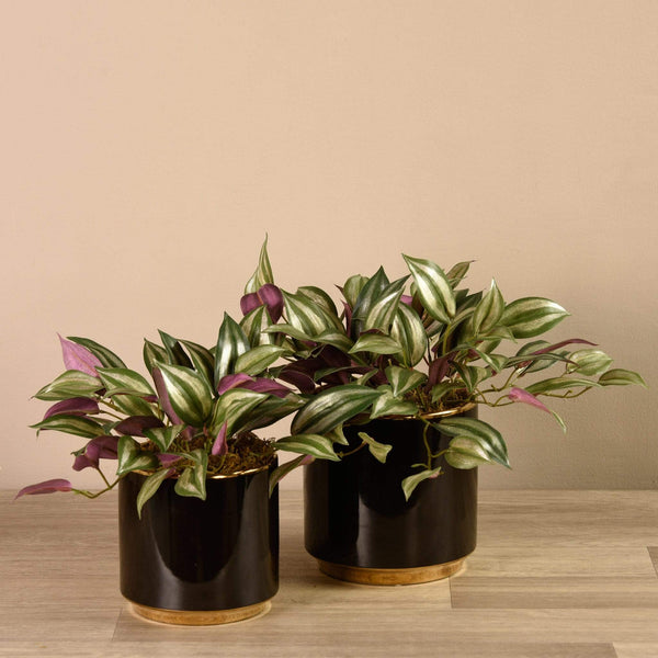 Potted Dark Vanilla Leaf