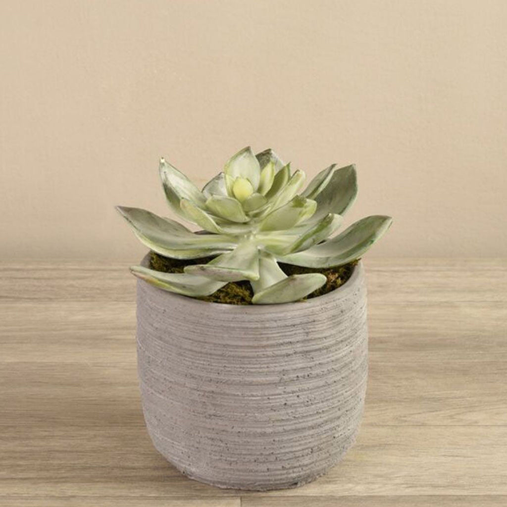 Potted Dudleya Succulent
