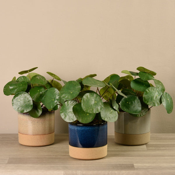 Potted Pancake Plant Bloomr Artificial Flowers & Artificial Trees