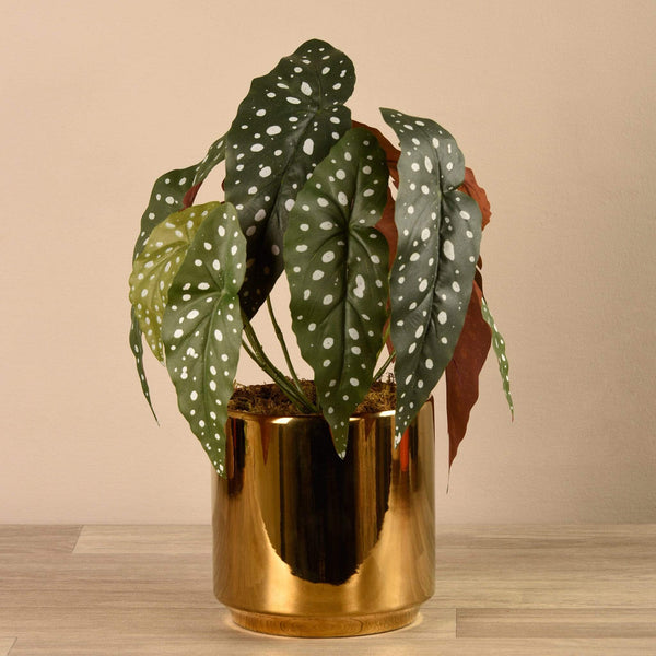 Begonia Maculata in Gold Pot