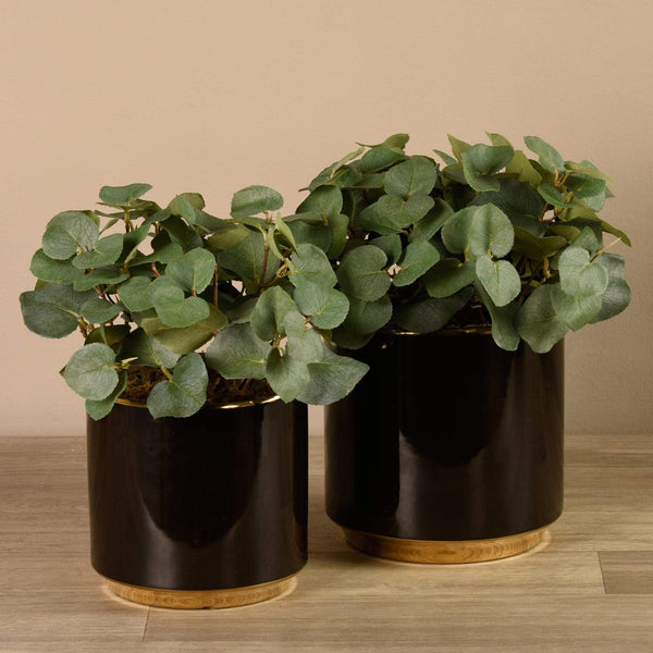 Eucalyptus in Black Pot