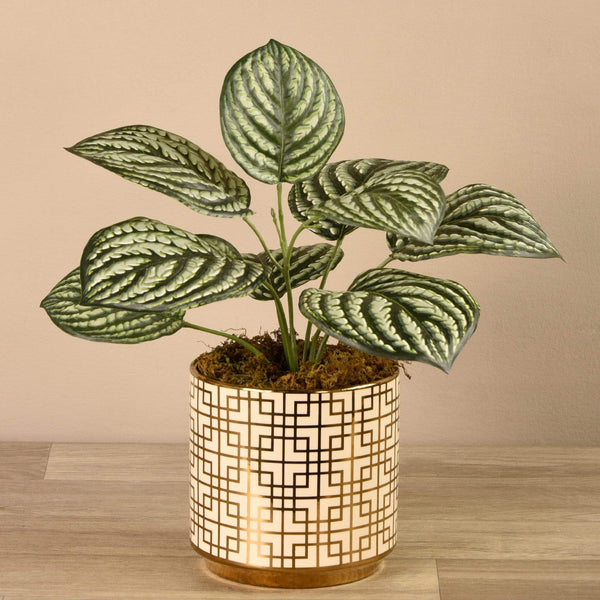Peperomia in White/Gold Pot