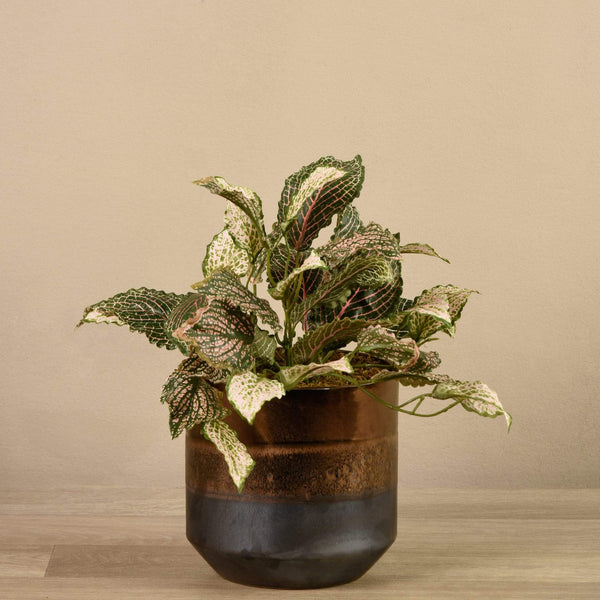 Artificial Potted Fittonia - Bloomr