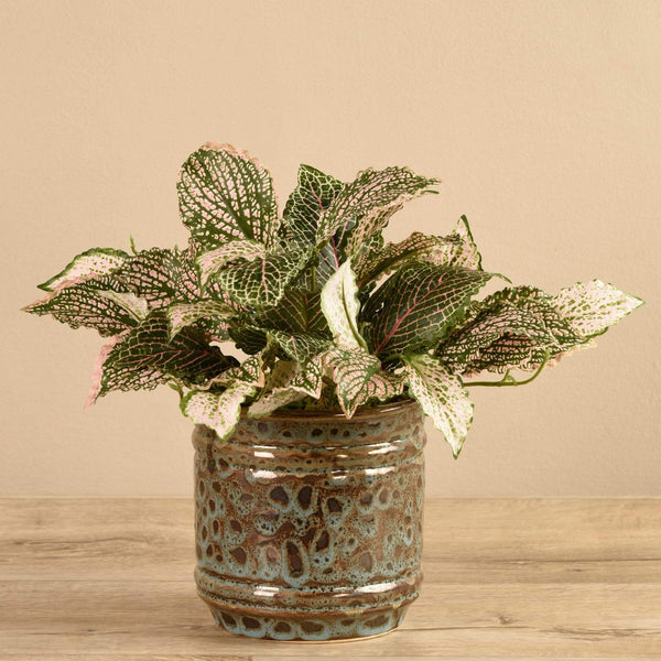 Potted Fittonia