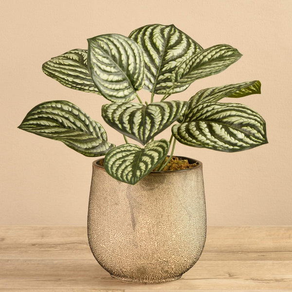 Potted Peperomia - Bloomr