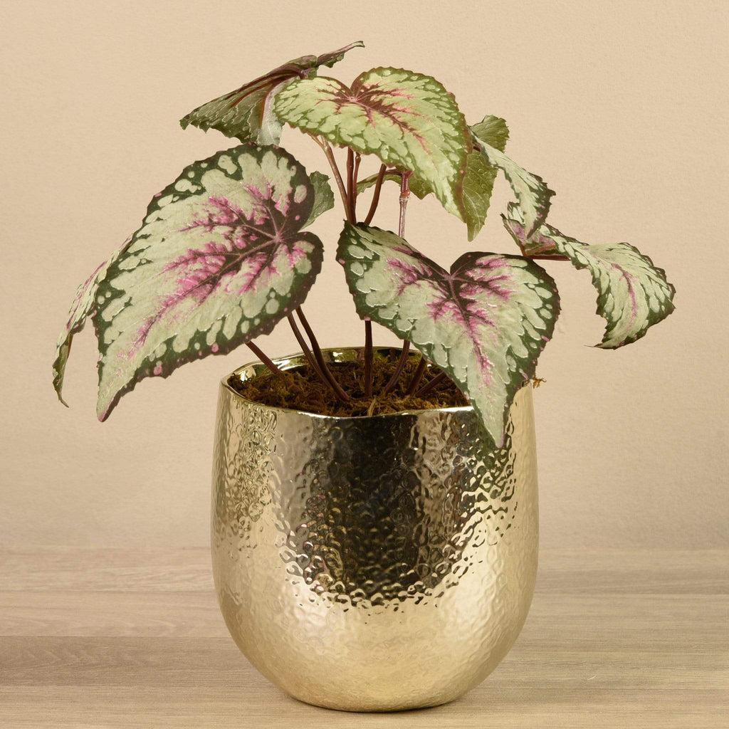 Potted Rex Begonia - Bloomr