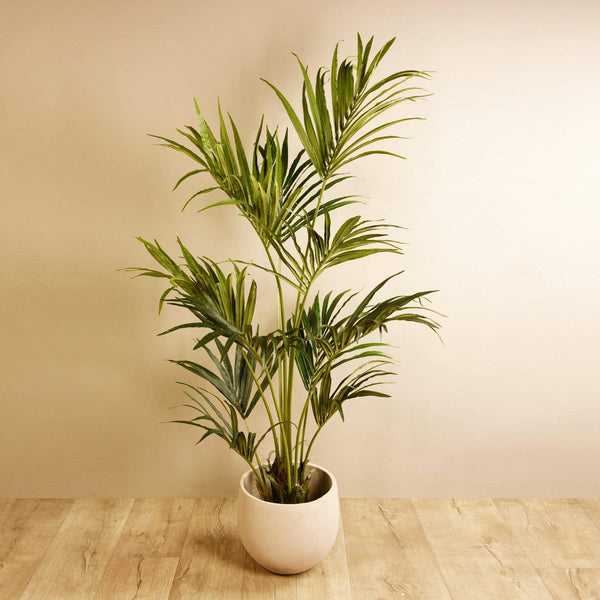 Kentia Palm