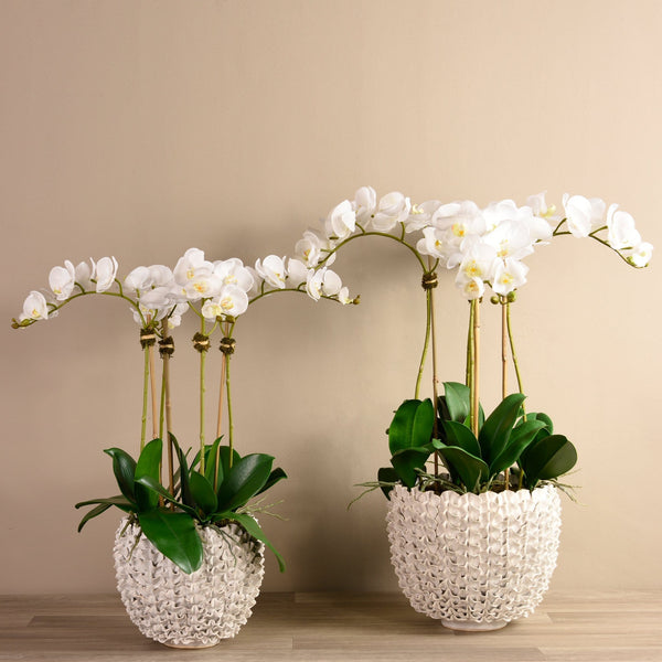 Shell Orchid White