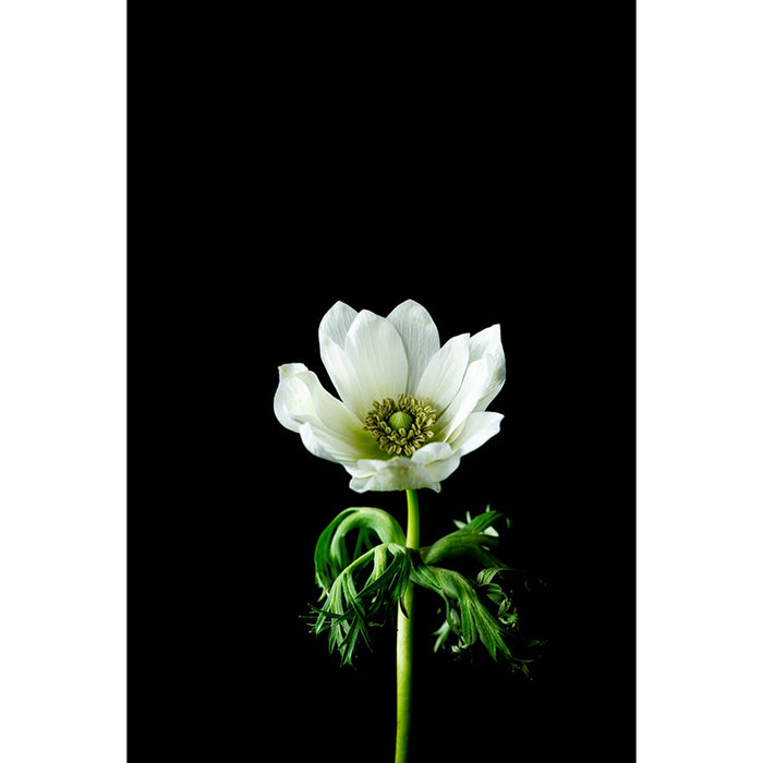 WHITE ANEMONE - PROTECTION