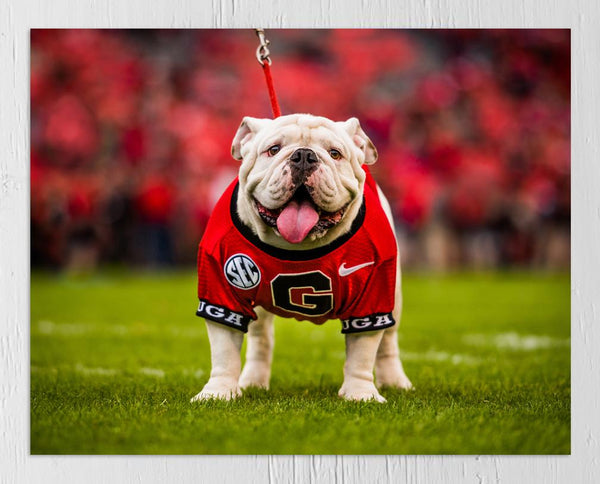 UGA Georgia Bulldogs Art: Uga X Mascot Photo Print / Fine Art Print / Canvas Wrap