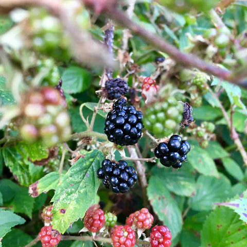 The blackberries on the bush at Flushing near Falmouth
