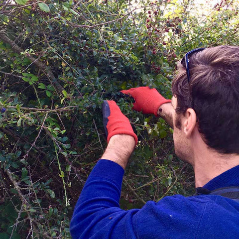 David picking sloes