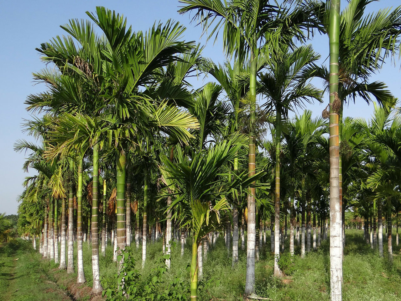 Grove of palm trees