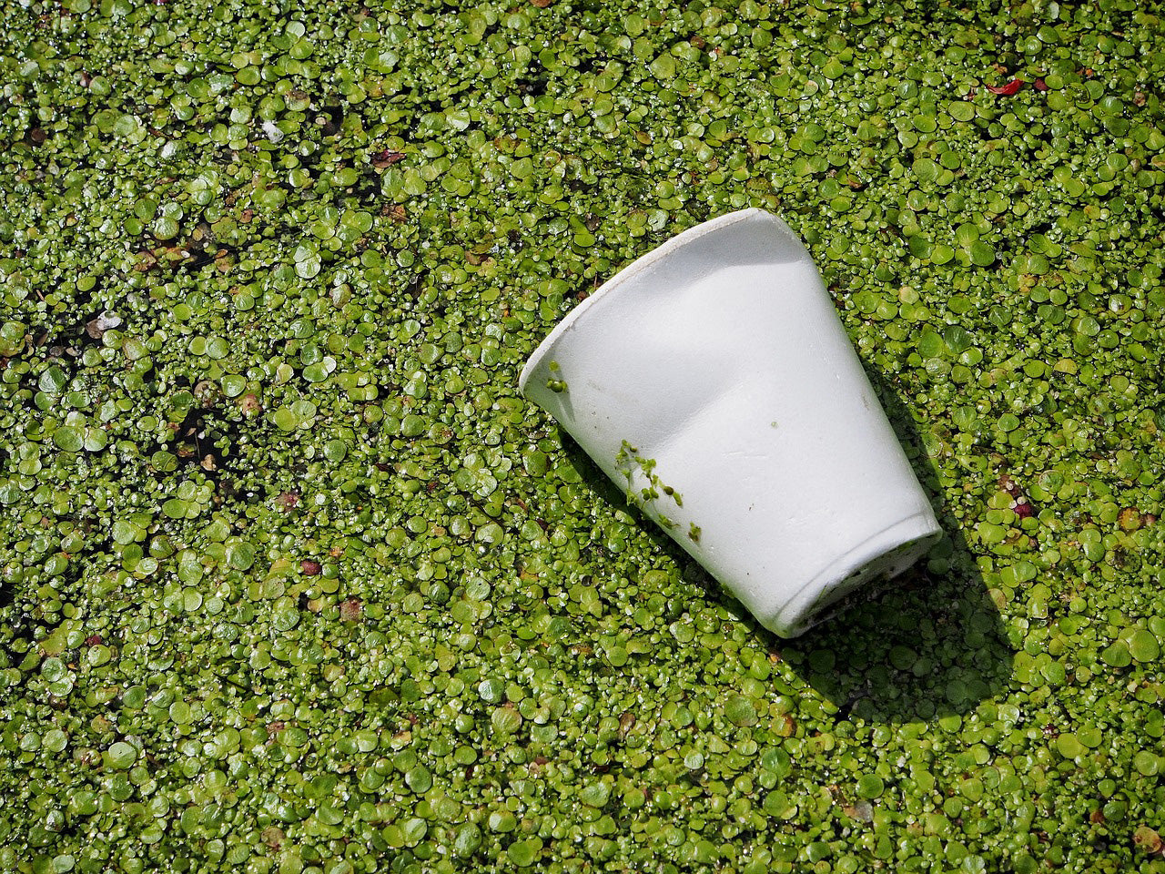 Discarded styrofoam cup