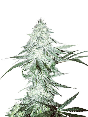 Amnesia Seeds - Seed King