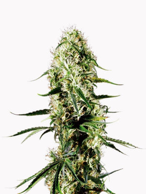Seeds - Super Silver Haze Seeds