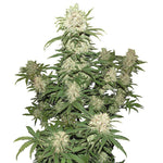 Blueberry Indica Seeds