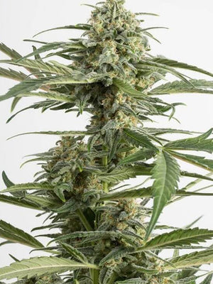 Critical Kush Seeds