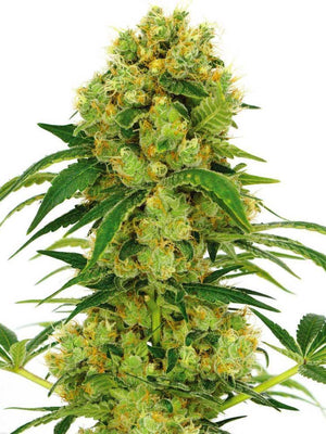 Critical Mass Seeds
