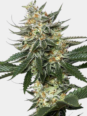 Feminized Tangie Seeds