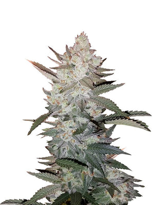 True OG Kush Seeds