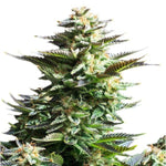 White Fire Alien Kush Seeds