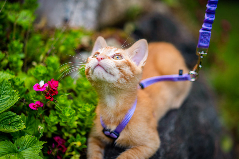 Turning Your Fun-Loving Feline into an Adventure Cat