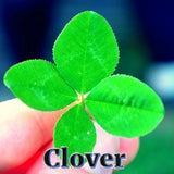 Clover - Good Luck Symbol - Sterling Luck