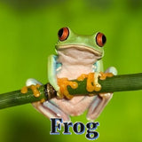 Frog - Good Luck Symbol - Sterling Luck