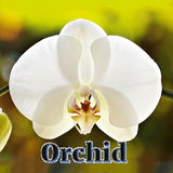 Orchid - Good Luck Symbol - Sterling Luck
