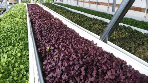 More of our greenhouse with hydroponic lettuce