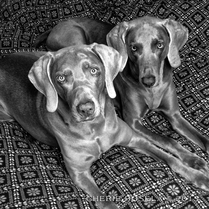 Black and White Weims