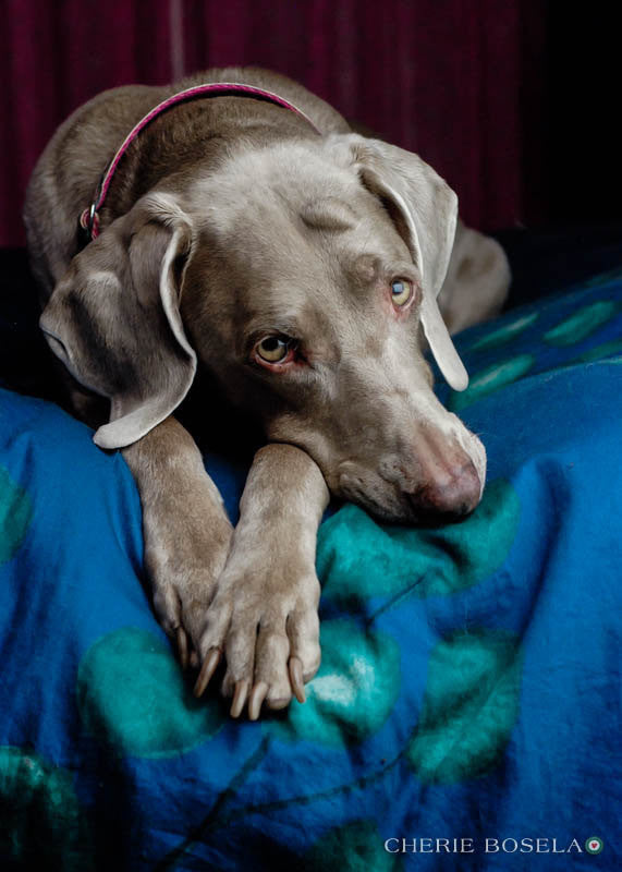 Weimaraner Greeting Card - Blank