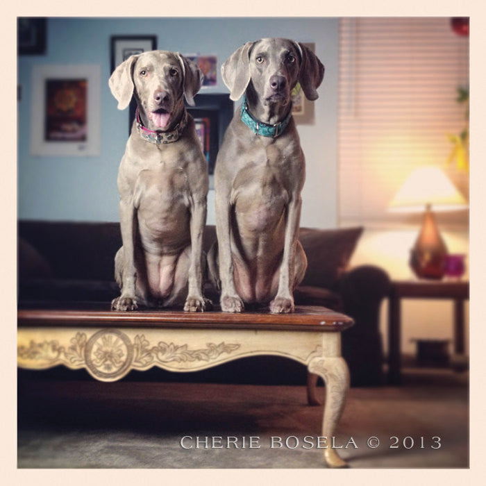 Weimaraner Table Toppers Greeting Card - Blank