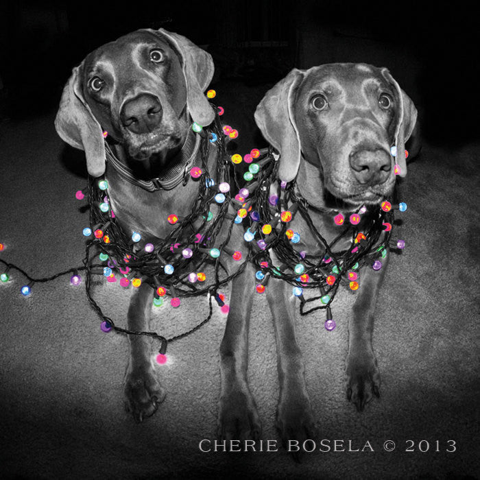 Holiday Weimaraner Greeting Card - All Wrapped Up - Blank