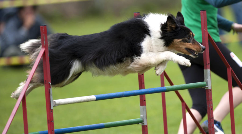 agility obstacle saut double haie