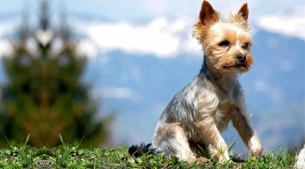 appartement-chien-Yorkshire-Terrier