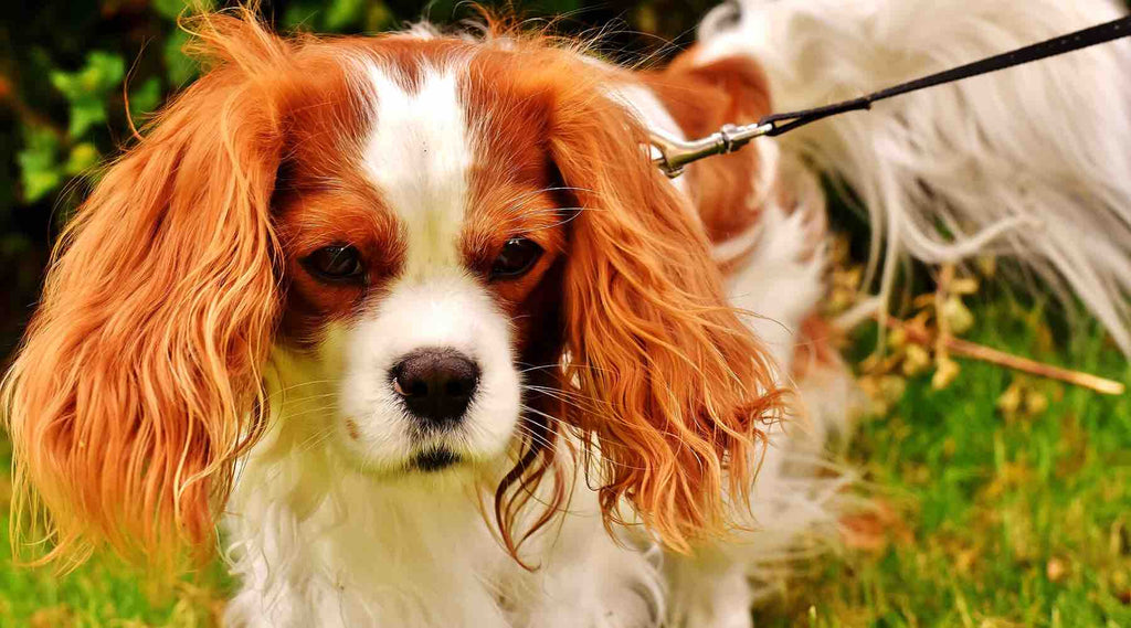 chien-appartement-Cavalier-King-Charles
