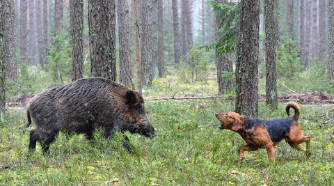 chien chasse gros gibier