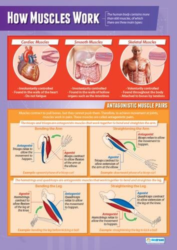 How Muscles Work | Pe Posters | Laminated Gloss Paper Measuring 33