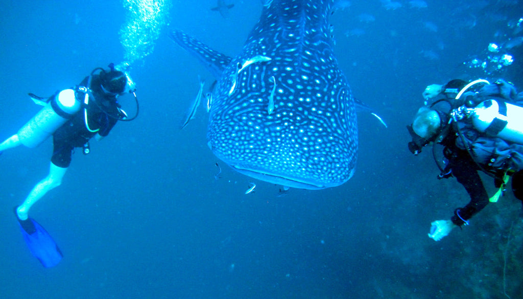 Diving with a whale shark in Koh Phangan