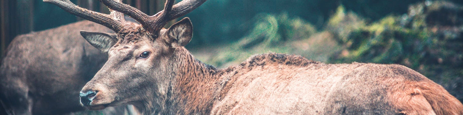 5 Reindeer Facts You Didn't Know