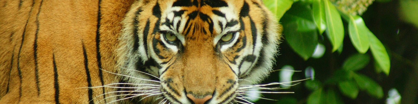 Sumatran tigers on path to recovery